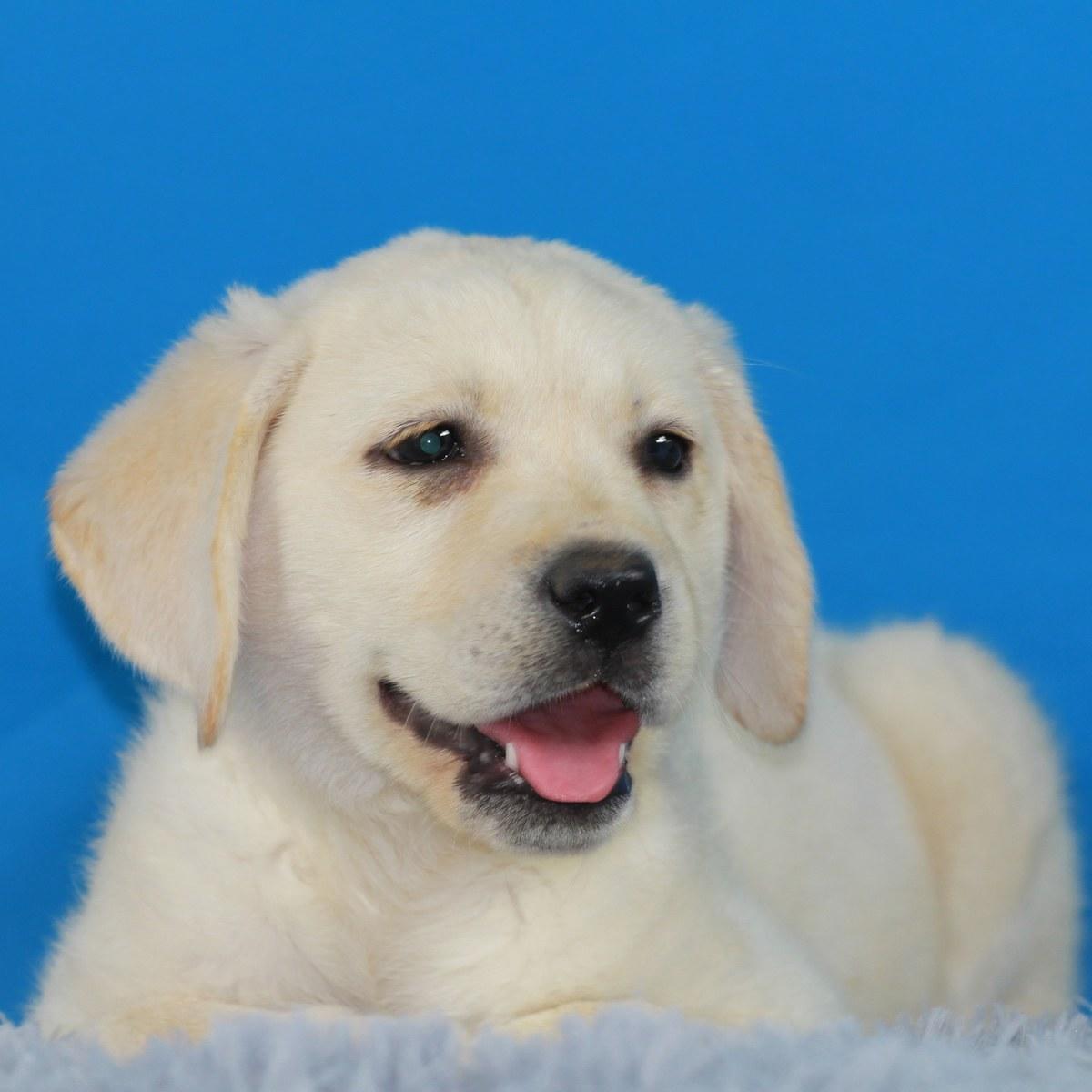 纯种拉布拉多犬幼犬狗狗出售