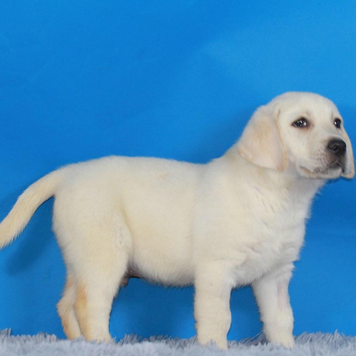 拉布拉多犬 公dd / 编 号: 10050800