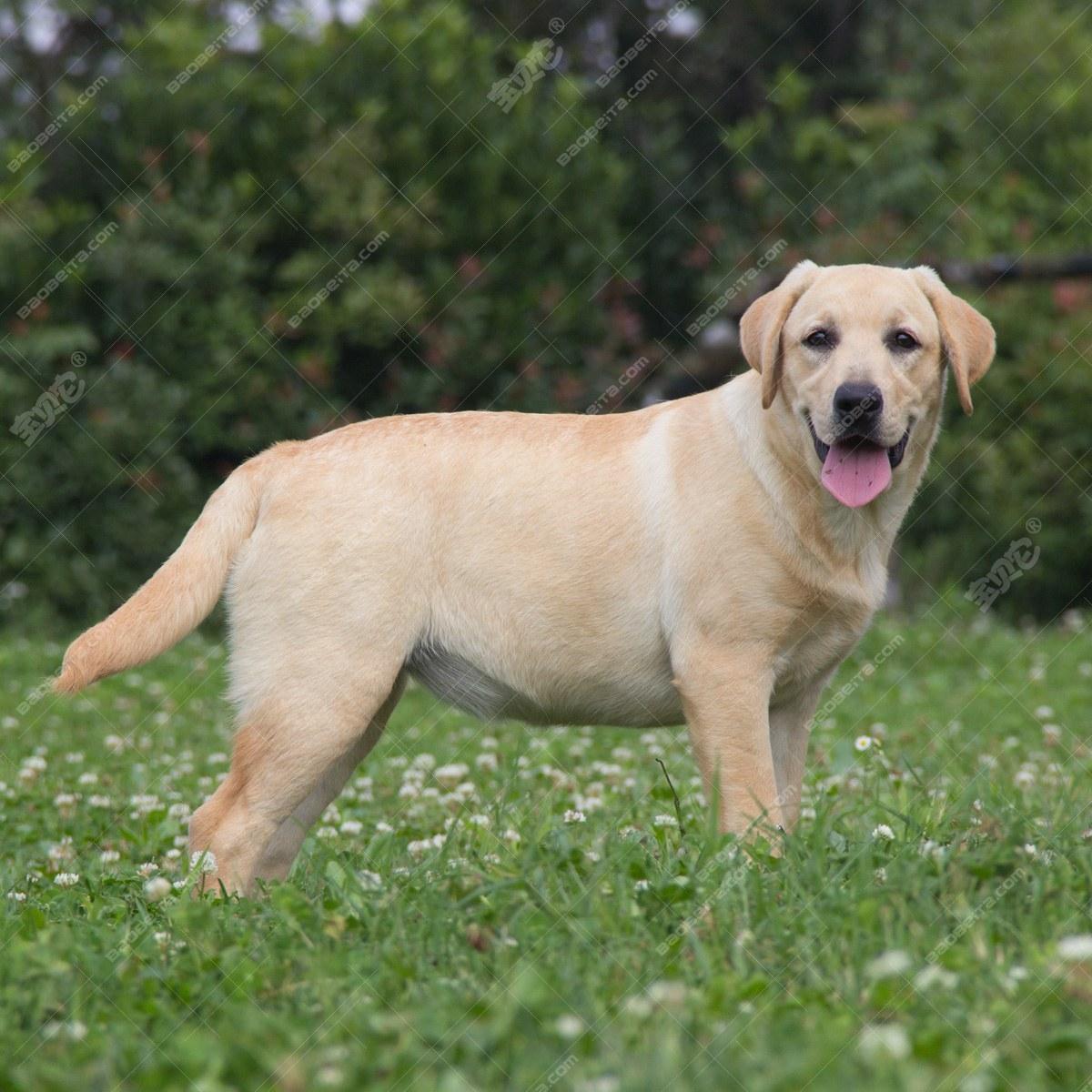 10103100 拉布拉多犬