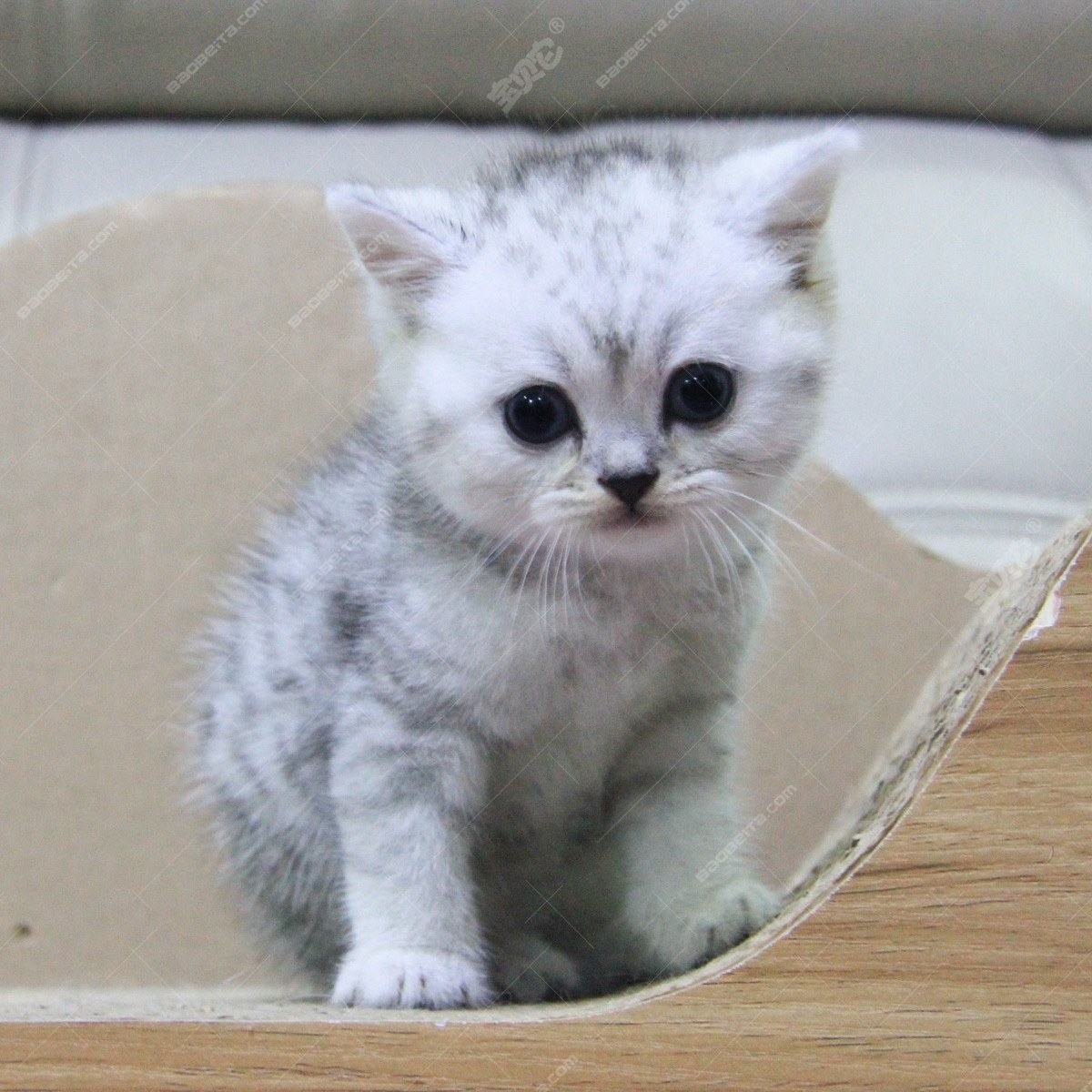 纯种宠物猫咪 英短幼猫mm 银色渐层 英国短毛猫 宠物级 视频 / 母mm