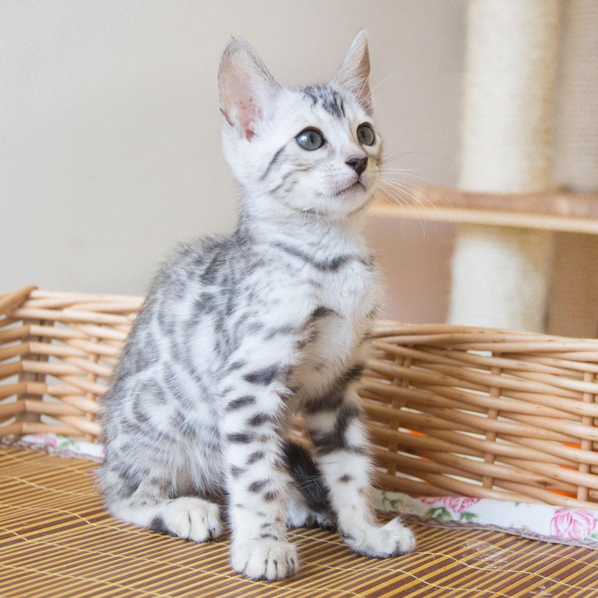 纯种宠物猫咪 豹猫/孟加拉豹猫 幼猫公dd 银色 带证书 / 公dd / 生日