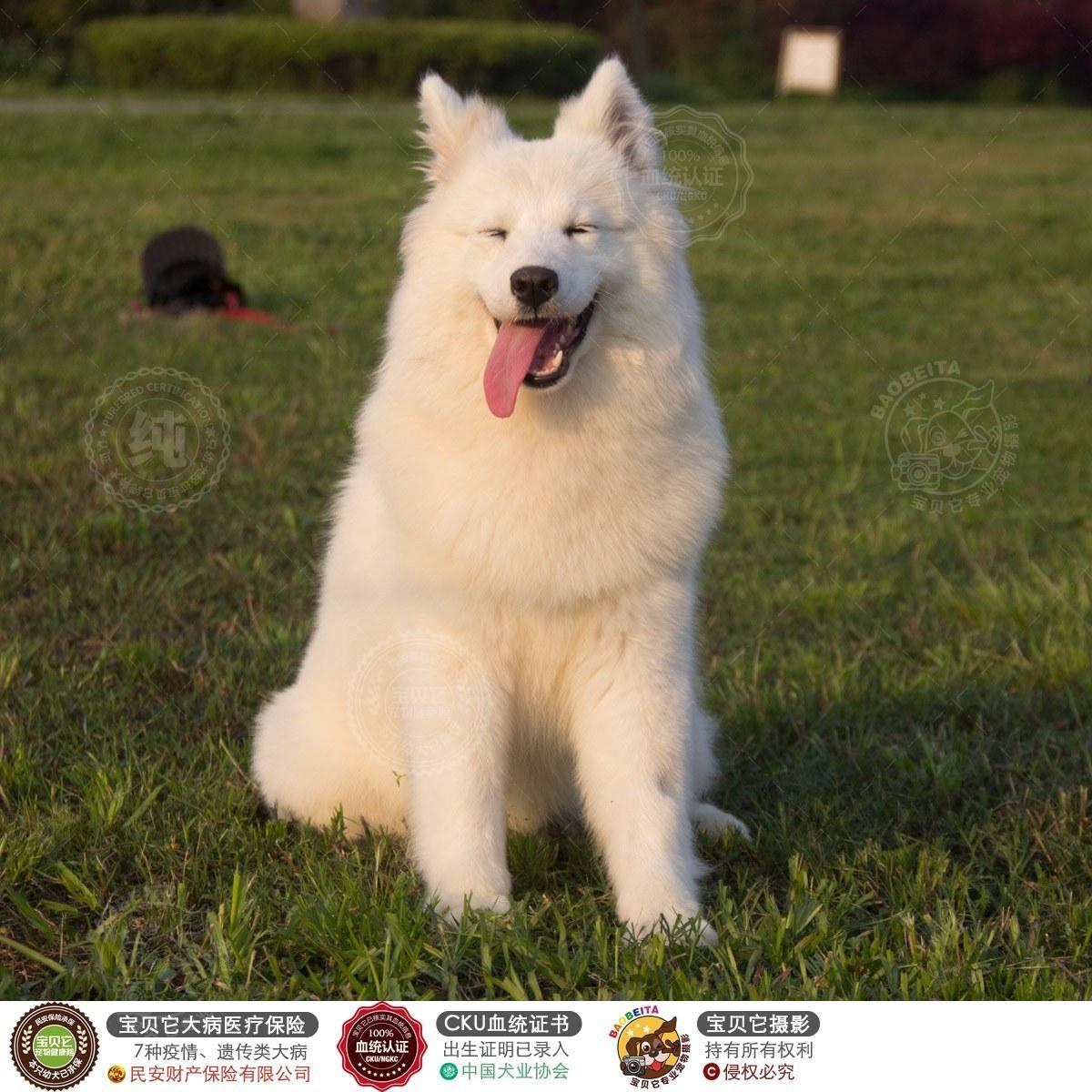 狗狗 萨摩耶犬  可爱蓬蓬棉花糖,毛量超多,父亲是登陆冠军硬币