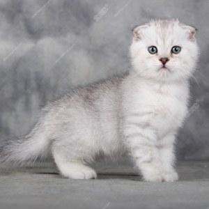 纯种宠物猫咪 英短幼猫mm