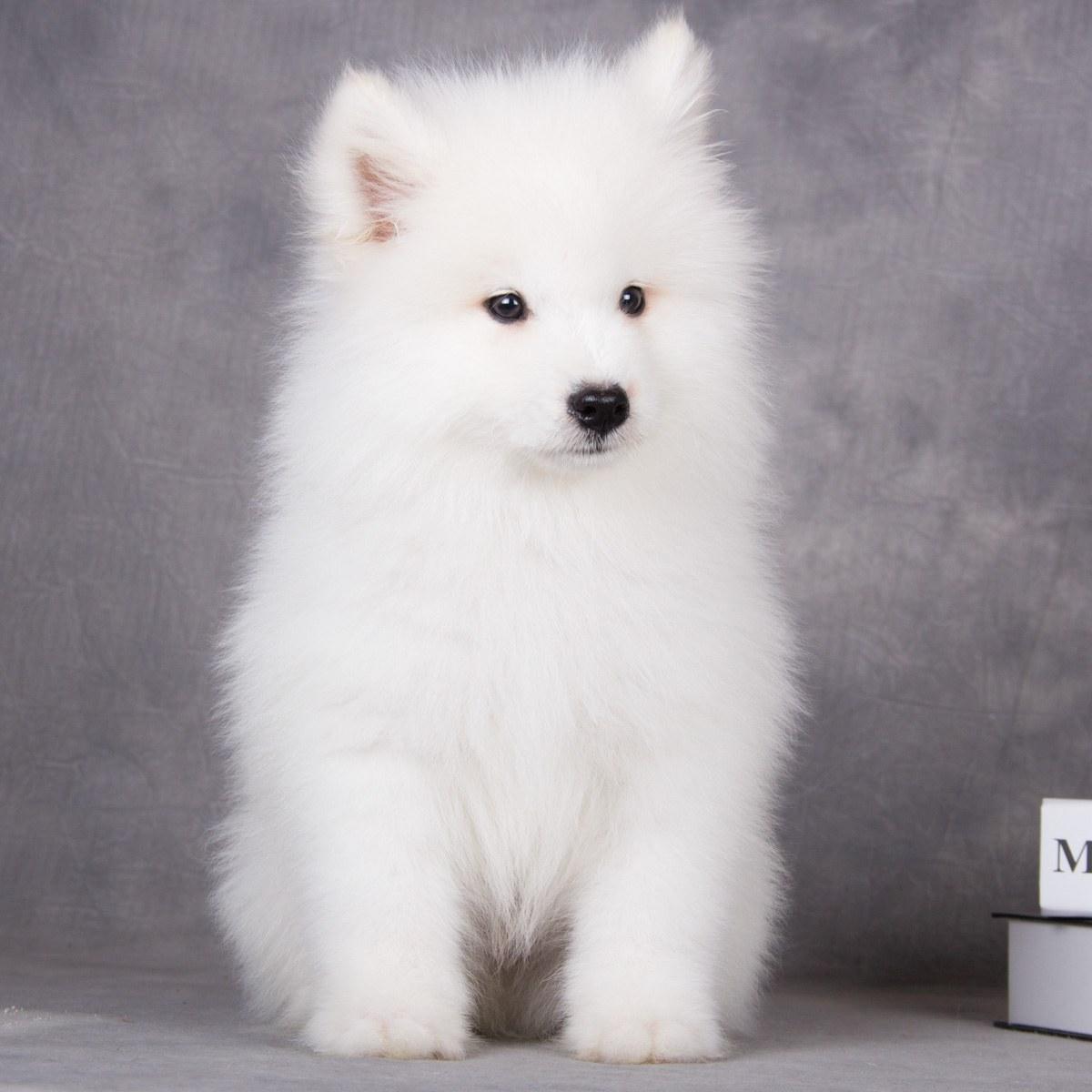 萨莫耶_[已售] 萨摩耶犬/公dd/1428天龄/10115701