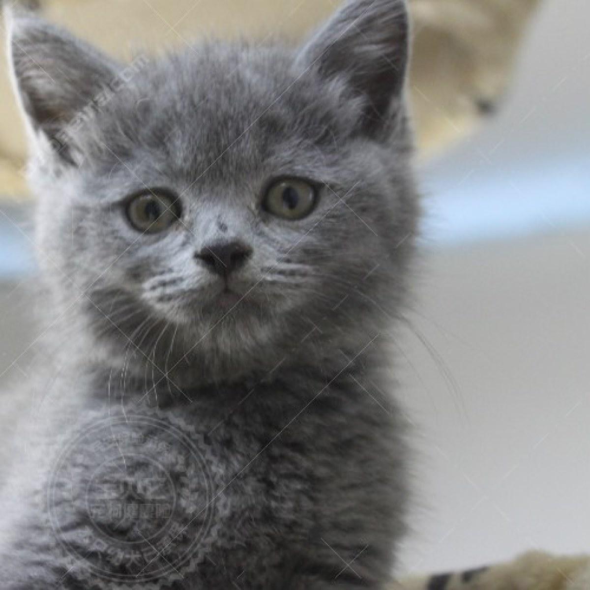 英国短毛猫(蓝猫) 蓝猫(英短)
