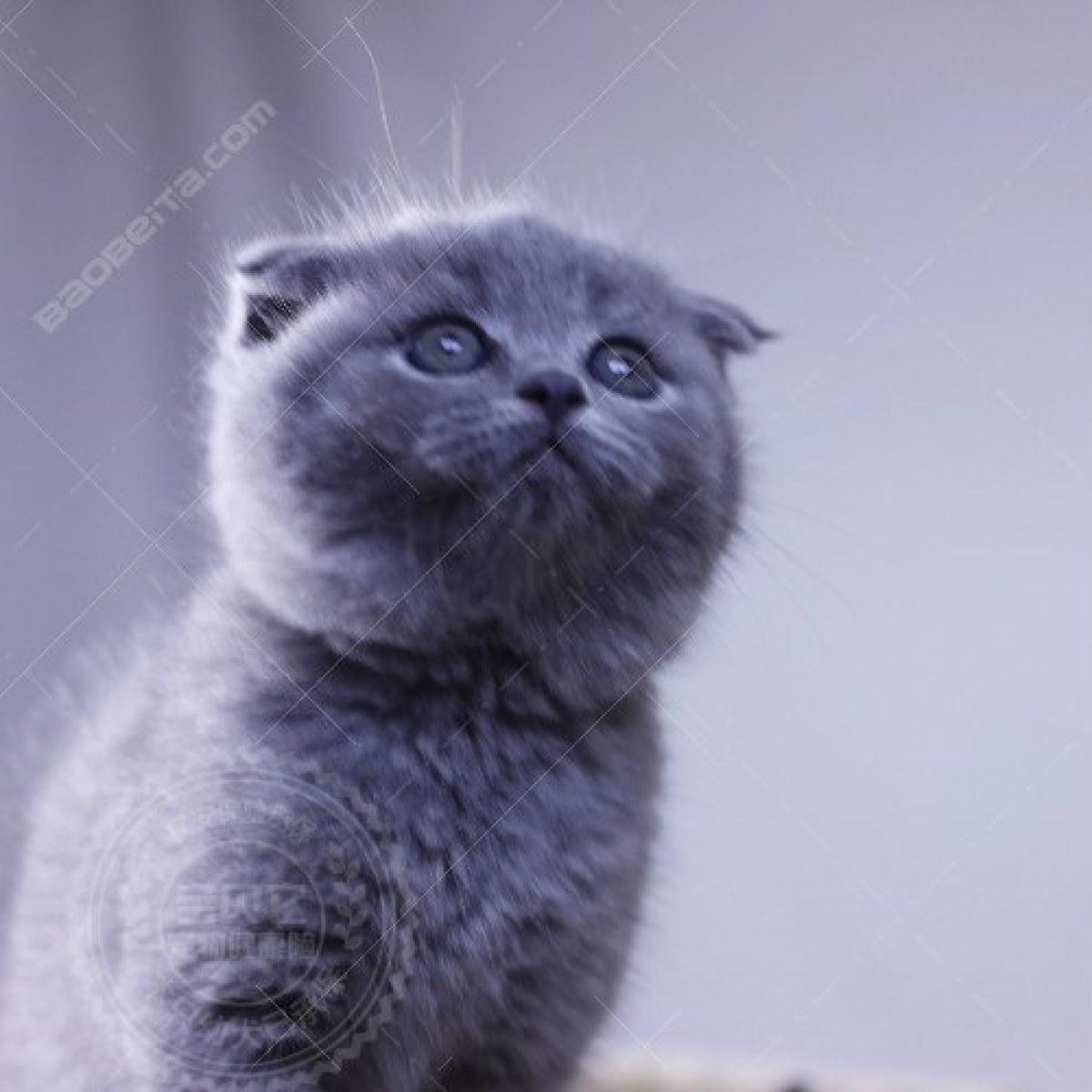 蓝猫瘫了的可爱图片