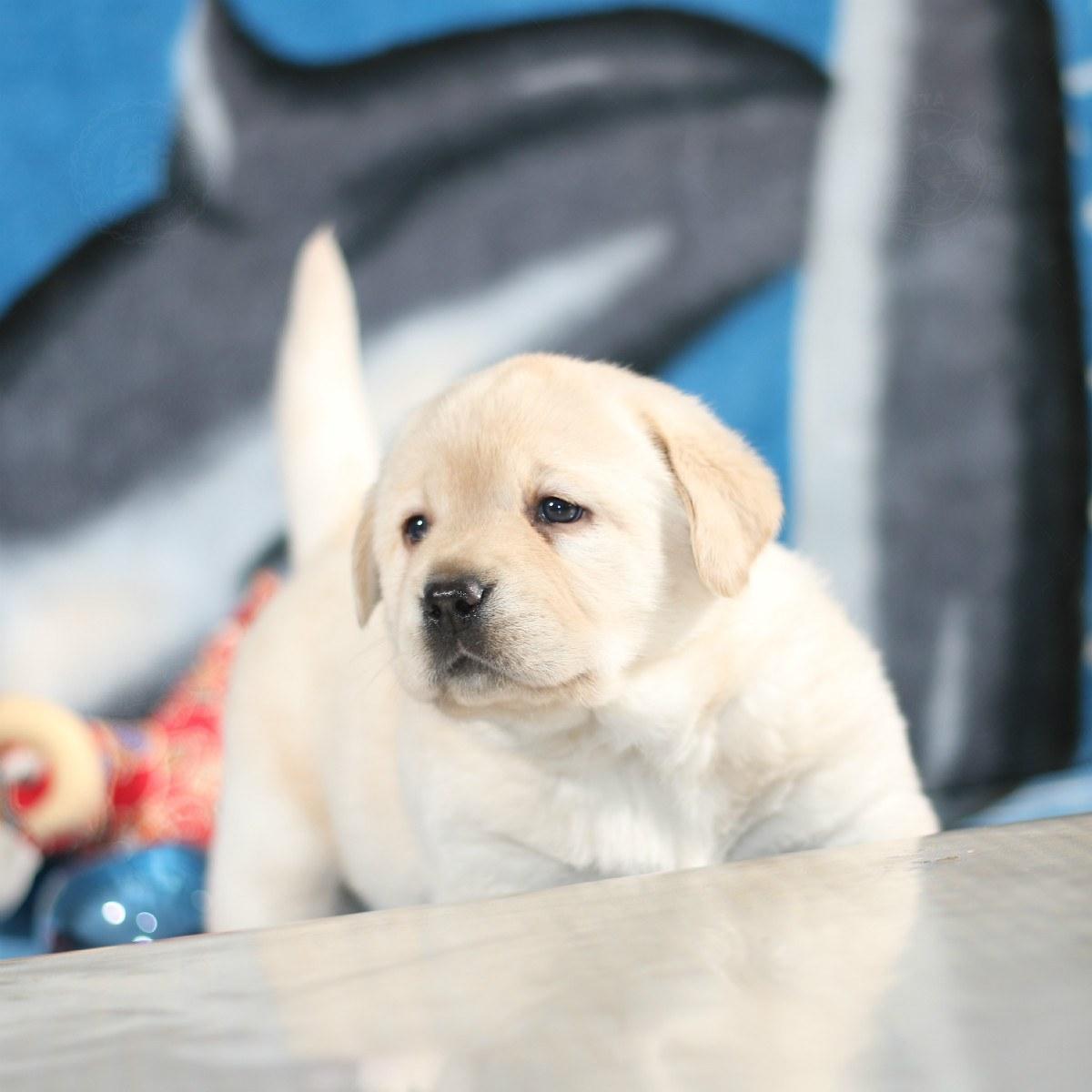 10162700 拉布拉多犬