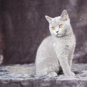 蓝猫(蓝白)