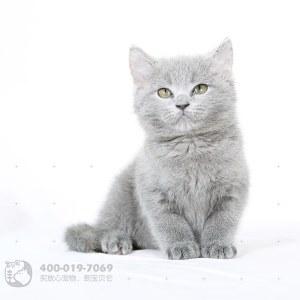 蓝猫(英短)