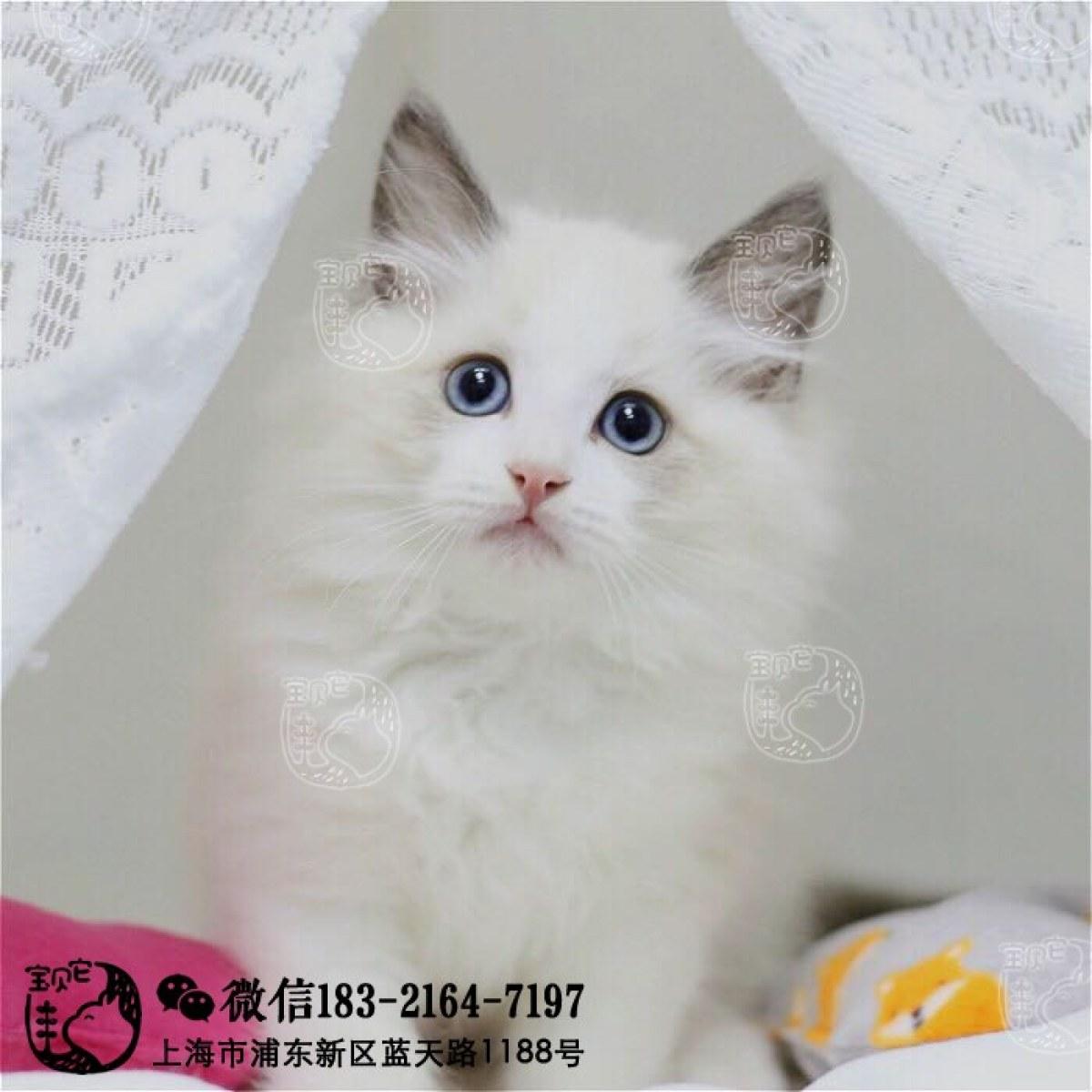 猫咪 布偶 id: 10199200